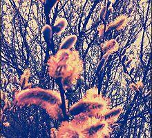 Catkins by SuzyPhoto