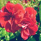 Red geranium flowers by cycreation