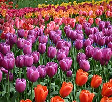 Tulip Fields 1 by Danielle LaBerge