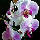 1151-beautiful orchid by elvira1
