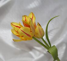 Two Tulips One Stem by AnnDixon