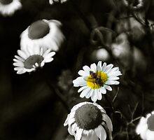 Michaelmas Daisies (Gerbera) by mlphoto