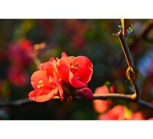 Wild Apple blossom Photographic Print
