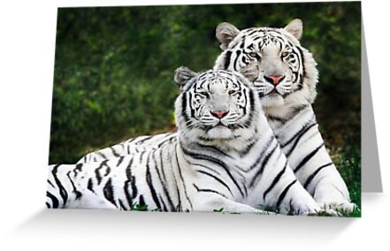 White tigers by SandraWidner
