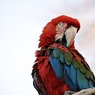 Mr. Redd Macaw by rosaliemcm