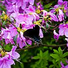 Black Swallowtail by Kyle Wilson