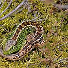Sand Lizard by relayer51