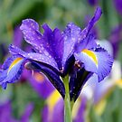 Colorful Iris by Cynthia48