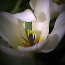 The White Tulip with the Green stripe by walstraasart