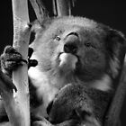 Koala 1 B&amp;W by photonista