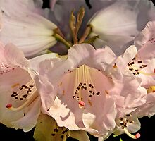 Rhododendron in Bloom by cclaude