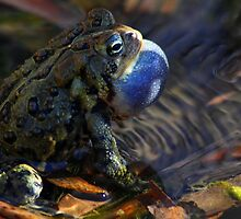 American Toad rippling the pond by Kane Slater