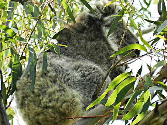 Koala happy to sit in Eucalypt tree by EdsMum