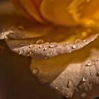 Rain Spattered Rose by Sandra Chung