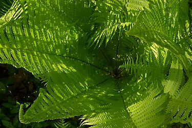 Fern with Dappled Sunlight by Lynn Gedeon