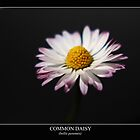 Common Daisy (bellis perennis) labeled by Alan Harman