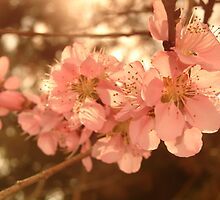 Blossoms with Sunshine by PicsbyJody