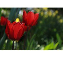 Beautiful Tulip Photographic Print