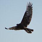 Gurney's Eagle by Chris Kean