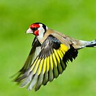 Goldfinch in flight by M.S. Photography & Art