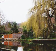 Weeping Willows in England  by Tom Cadrin