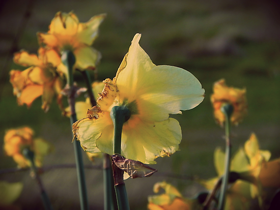 Fading Daffodils by MrsXile