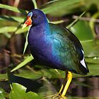 Rainbow Bird - Purple Gallinule by naturalnomad