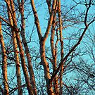 SunDown Birches by Nazareth