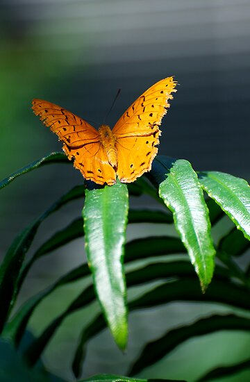 Orange Lacewing At Rest by GP1746