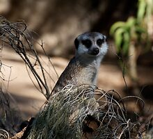 Meerkat In Hiding by GP1746