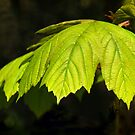 Sycamore Leaves by Susie Peek
