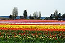Beautiful Fields of Tulips 2 by Tori Snow