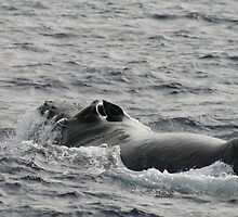 Fighting Male Humpback by Katie Grove-Velasquez