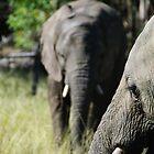 Knysna Elephants by alanrickman