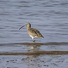 Curlew by VoluntaryRanger