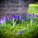 Sprint Crocuses in Kintbury Berkshire by mlphoto