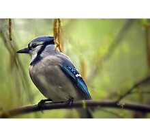 Blue Jay On A Misty Spring Day Photographic Print