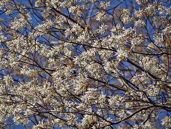 Lots and lots of blossoms!!! by vigor