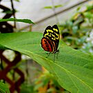 Mindo Butterfly Poses by Al Bourassa