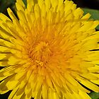 a Dandelion by any other name is still a weed by nastruck