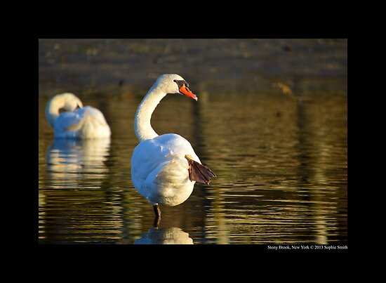 Cygnus Olor - Mute Swan Standing On One Leg - Stony Brook, New York by © Sophie W. Smith