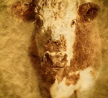 Hereford Bullock by mlphoto