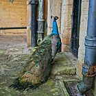 Proud as a Peacock by AndyEllis82
