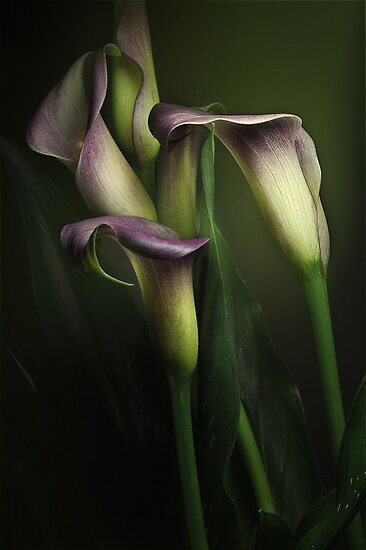 Calla Lilies  by EbyArts