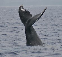 Humpback Tail by Katie Grove-Velasquez