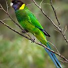 Australian Ringneck Parrot by John Sharp