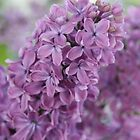 Perfect Lilac by Jasna