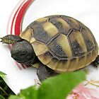 Baby Eastern Hermann's Tortoise at Home by Dennis Melling