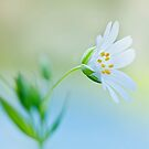 Little Stitchwort by Jacky Parker