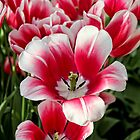 Tulip Annemarie by Jasna